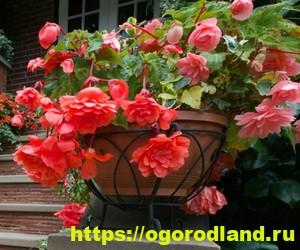 Красивые тенелюбивые растения для сада или балкона 10