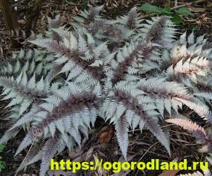 Красивые тенелюбивые растения для сада или балкона 14
