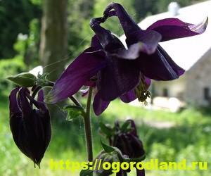 Красивые тенелюбивые растения для сада или балкона 6