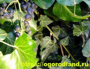 Ядовитые растения в саду. Топ 10 опасных для здоровья 2