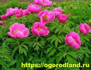 Ядовитые растения в саду. Топ 10 опасных для здоровья 3