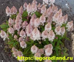 Красивые тенелюбивые растения для сада или балкона 3