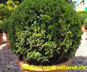 Красивые тенелюбивые растения для сада или балкона 8