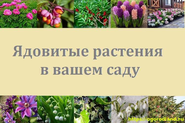 Ядовитые растения в саду. Топ 10 опасных для здоровья 1