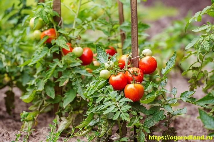 Детерминантные сорта томатов 3