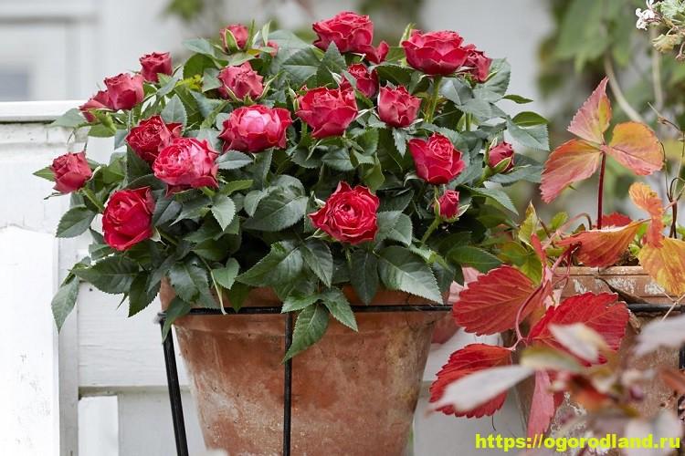 Выращивание роз в комнате и на балконе 3