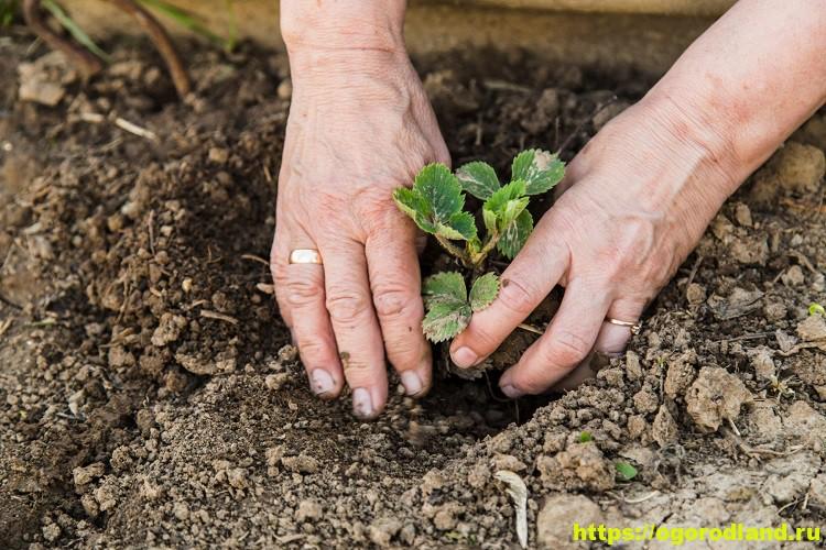 Как сажать клубнику весной – пошаговая инструкция