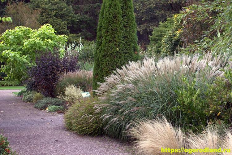 Мискантус китайский – декоративная трава