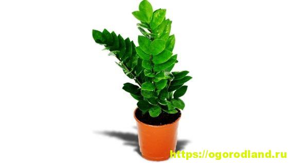 Цветок замиокулькас или долларовое дерево: уход в домашних условиях