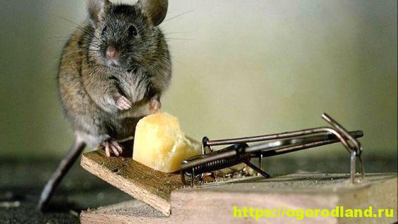 Как избавиться от мышей в частном доме и на даче навсегда быстро и эффективно: народные и другие средства