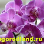 Орхидея фаленопсис: как ухаживать в домашних условиях, фото, пересадка