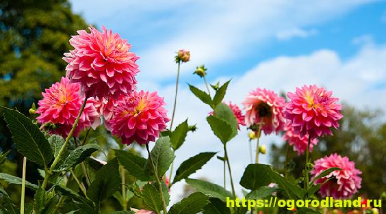 Многообразие видов георгин: описание, особенности выращивания