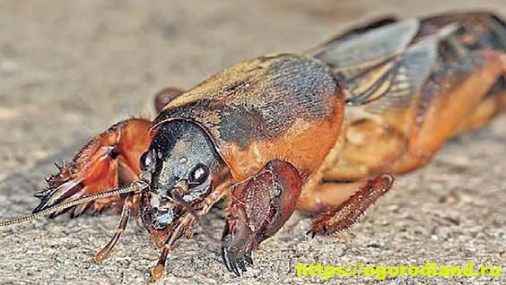 Почвенный вредитель Медведка: описание, виды и признаки вредителя. Как избавиться от насекомого в огороде