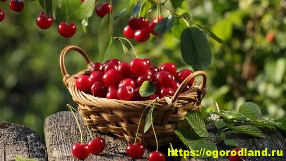 Вишня — описание и состав фрукта. Полезные свойства и противопоказания. ТОП-5 рецептов с добавлением вишни
