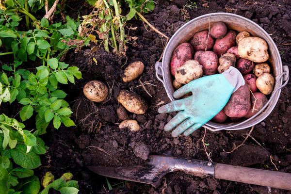 Уход за картофелем на огороде