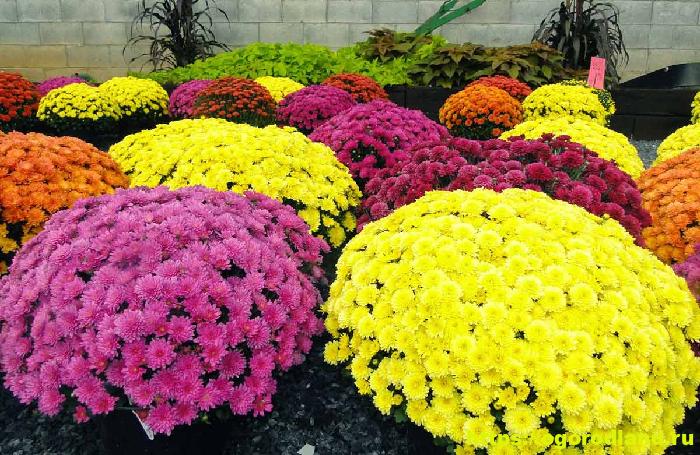 Зимнее хранение в помещении маточных растений хризантем