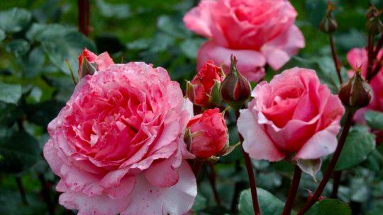 Как купить саженцы роз