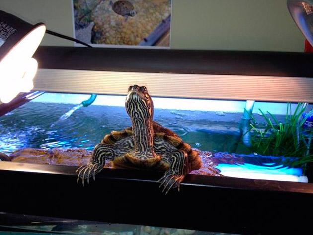Аквариумы для черепах: как выбрать и правильно его обустроить